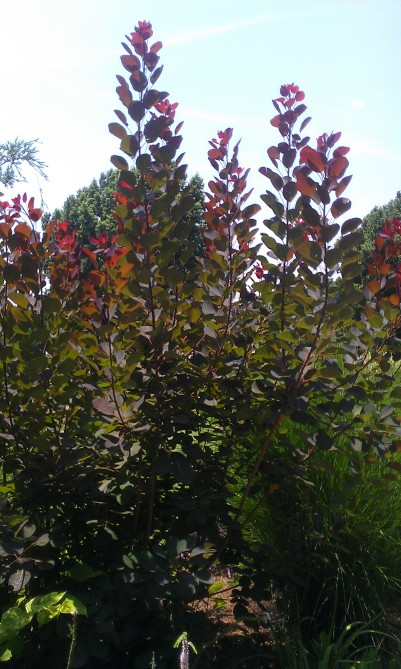 Red Tipped Bush...not sure of the real name